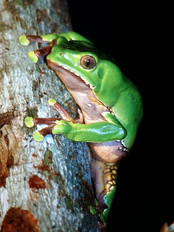 Phyllomedusa bicolor, der Makifrosch, ist nachtaktiv. Sein Gift wird von einigen Indianerstämmen als Halluzinogen für die Jagd benutzt.
