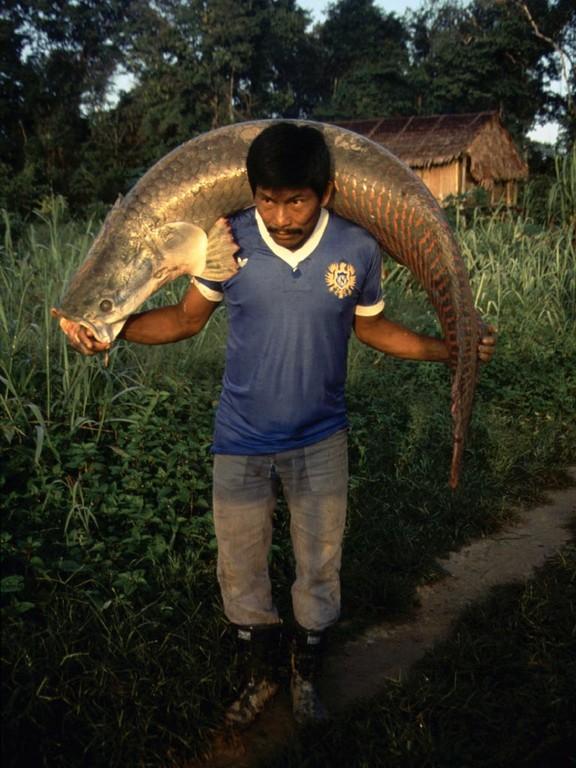 Arapaima (Arapaima gigas): einer der größten im Süßwasser lebenden Raubfische der Erde.
