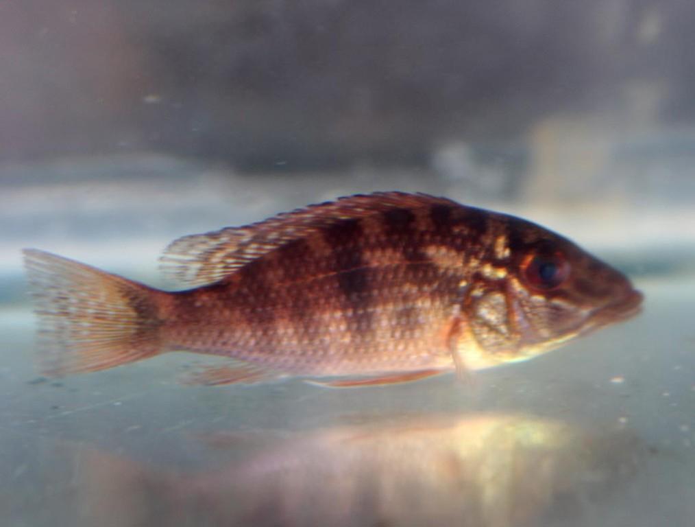 Alle Fische der nächsten Bilder fanden wir rund um dieses Biotop, so wie dieses Jungtier von Geophagus daemon.