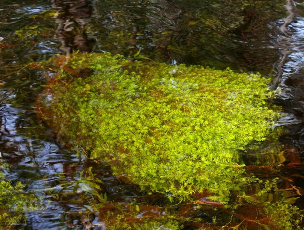 Es gab auch große Ballen von Wasserpest (Egeria najas).