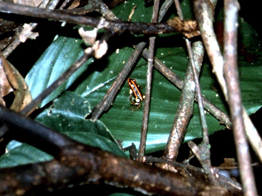 Pfeilgiftfrosch (Dendrobates quinquevittatus).
