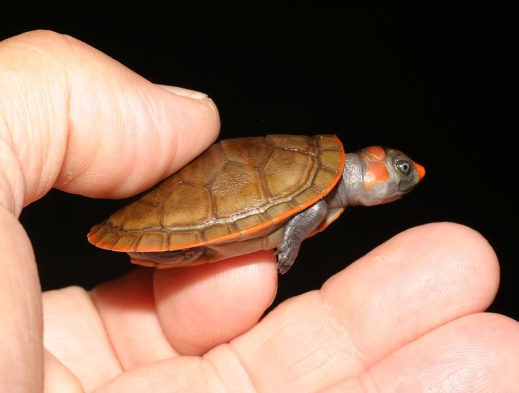 Das ist eine junge Schienenschildkröte, sie lebt im Wasser.