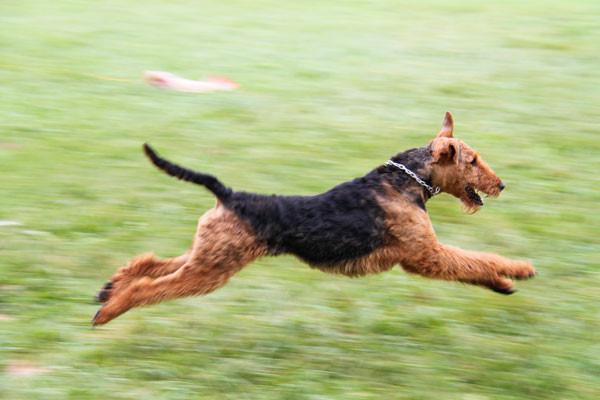 Airedale Terrier vom Juratal, Bendix vom Juratal