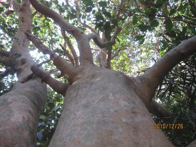 椿の巨木、