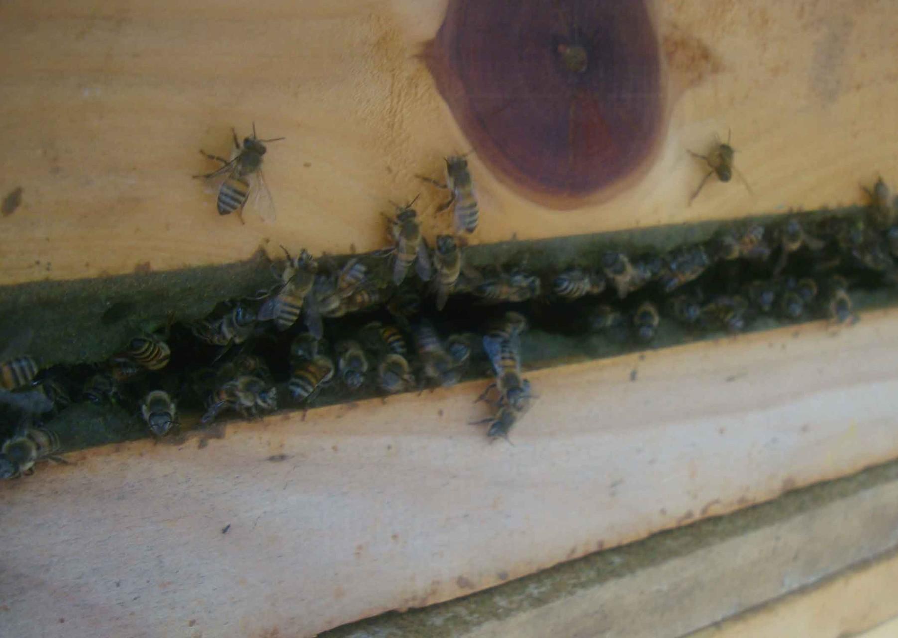 巣箱の枠にハチがプロポリスを塗り固める様子。
