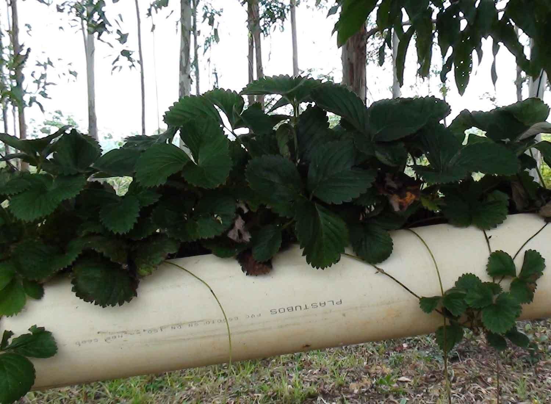 自家用の苺の苗がすくすく育っています。