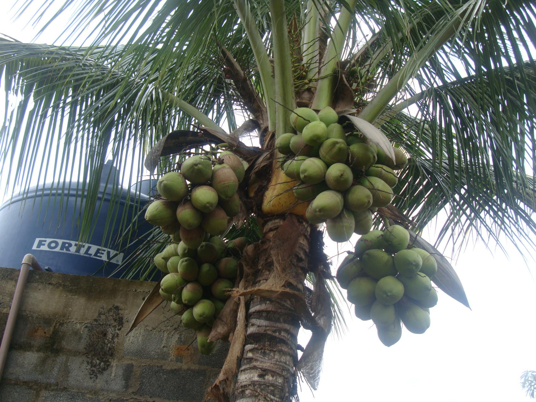 すぐご近所の農園主の庭のココナツの木もたわわ。