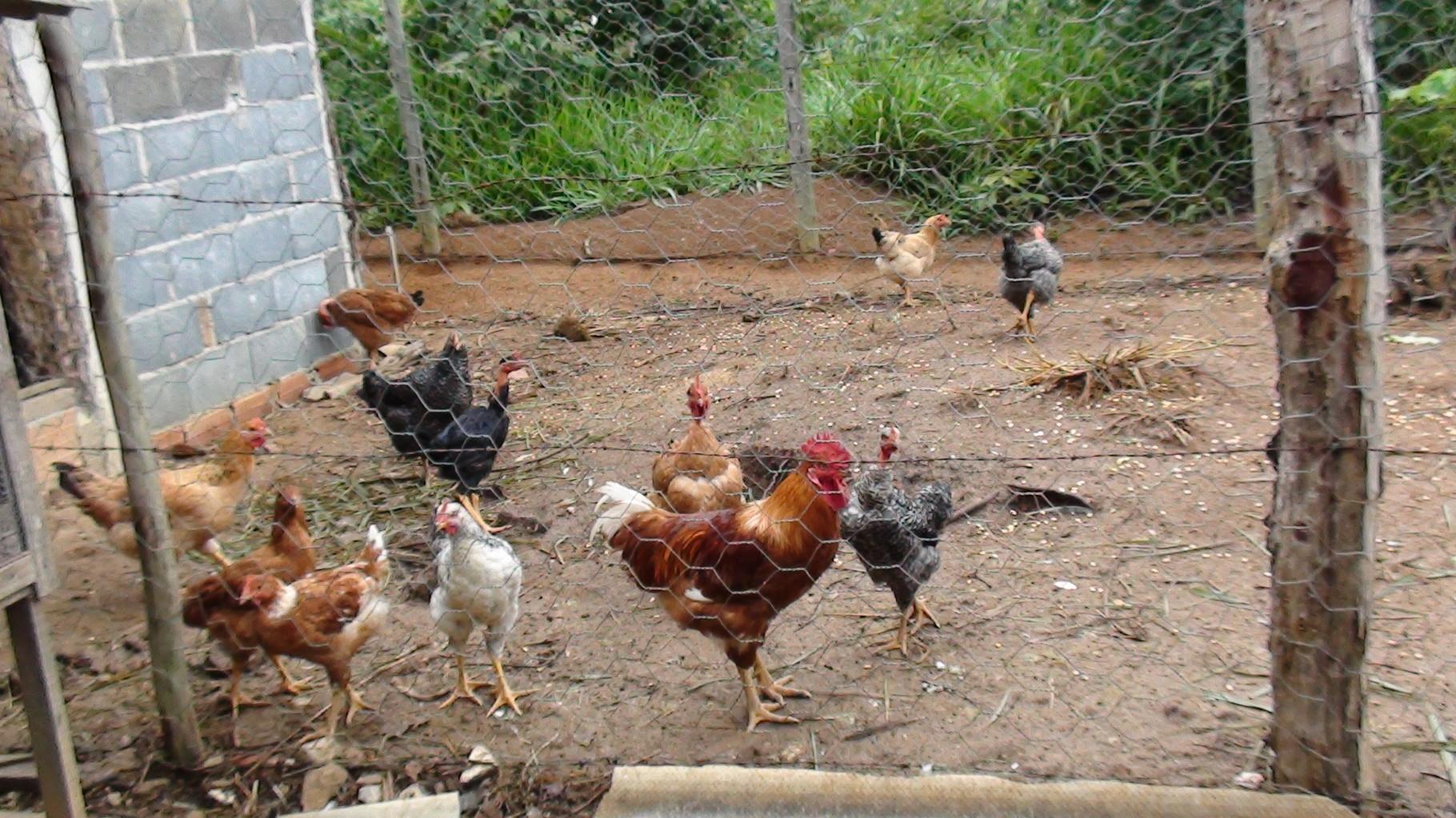 養蜂園での自給自足を目指して鶏も飼っています。