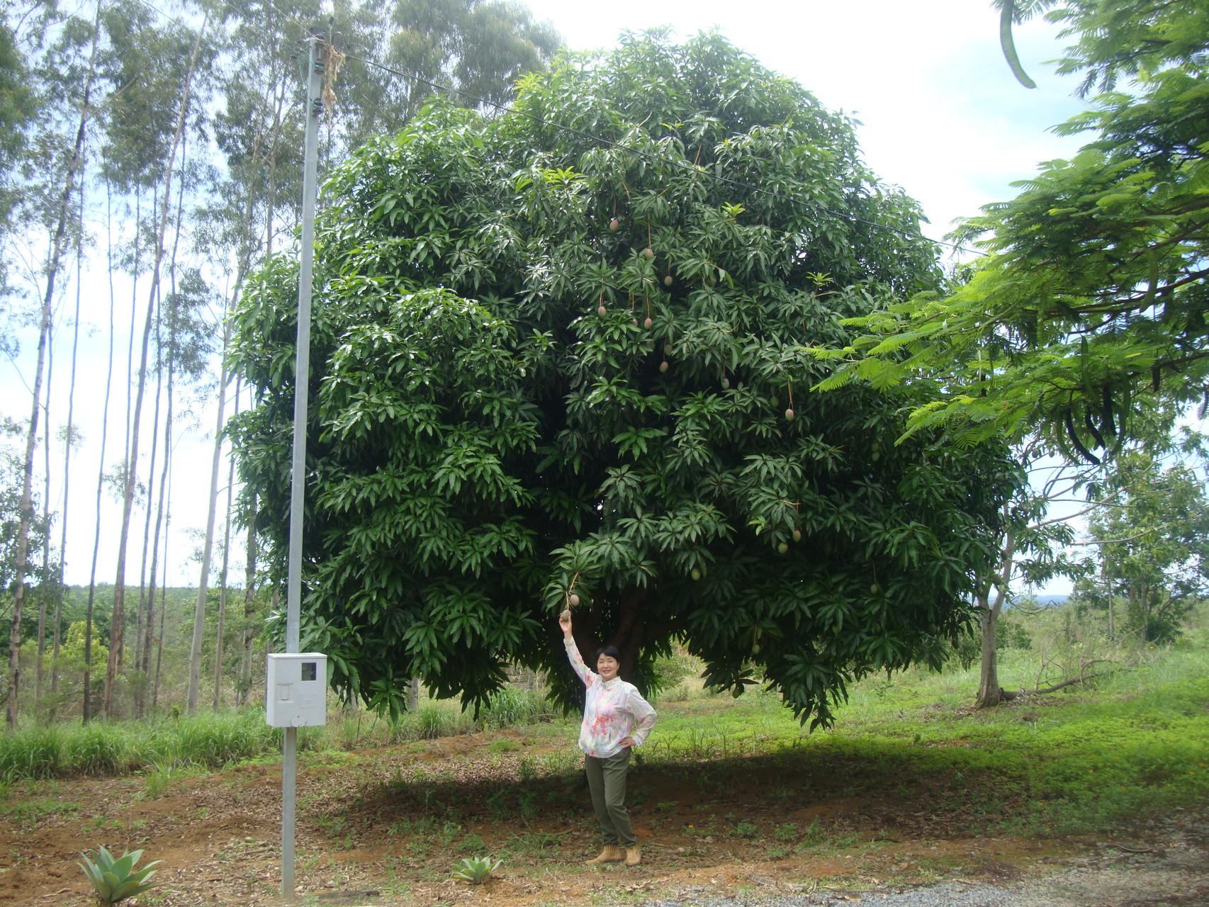 マンゴの並木道の背もすっかり高くなりました