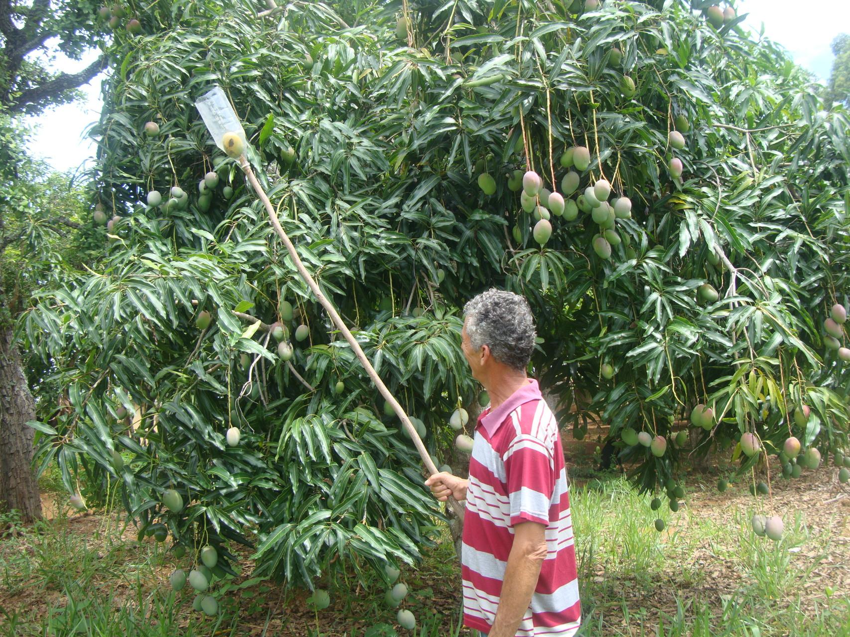 ペットボトルを切って加工したキャッチャーでマンゴを収穫。
