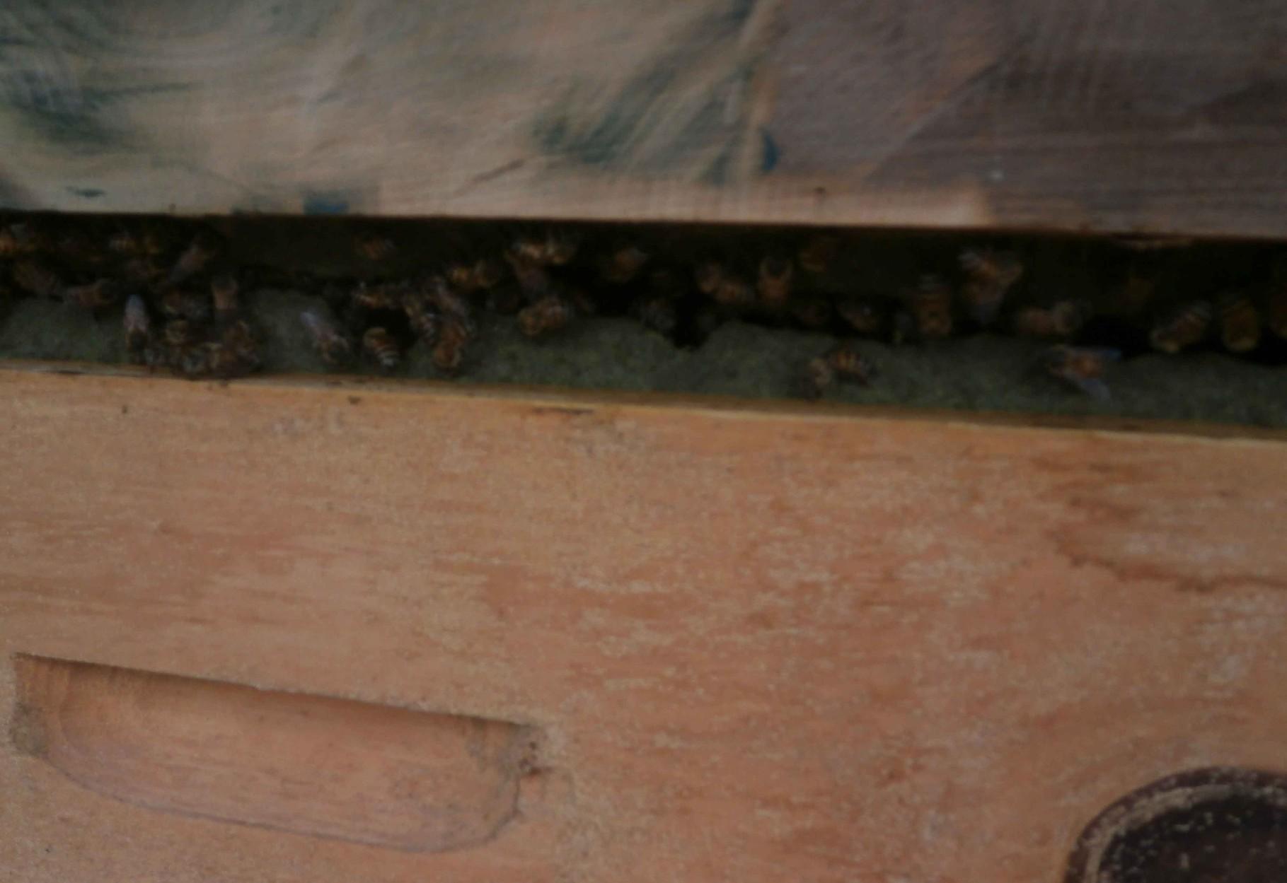 巣箱に空けたプロポリス収穫用の枠をプロポリスで埋めていく様子