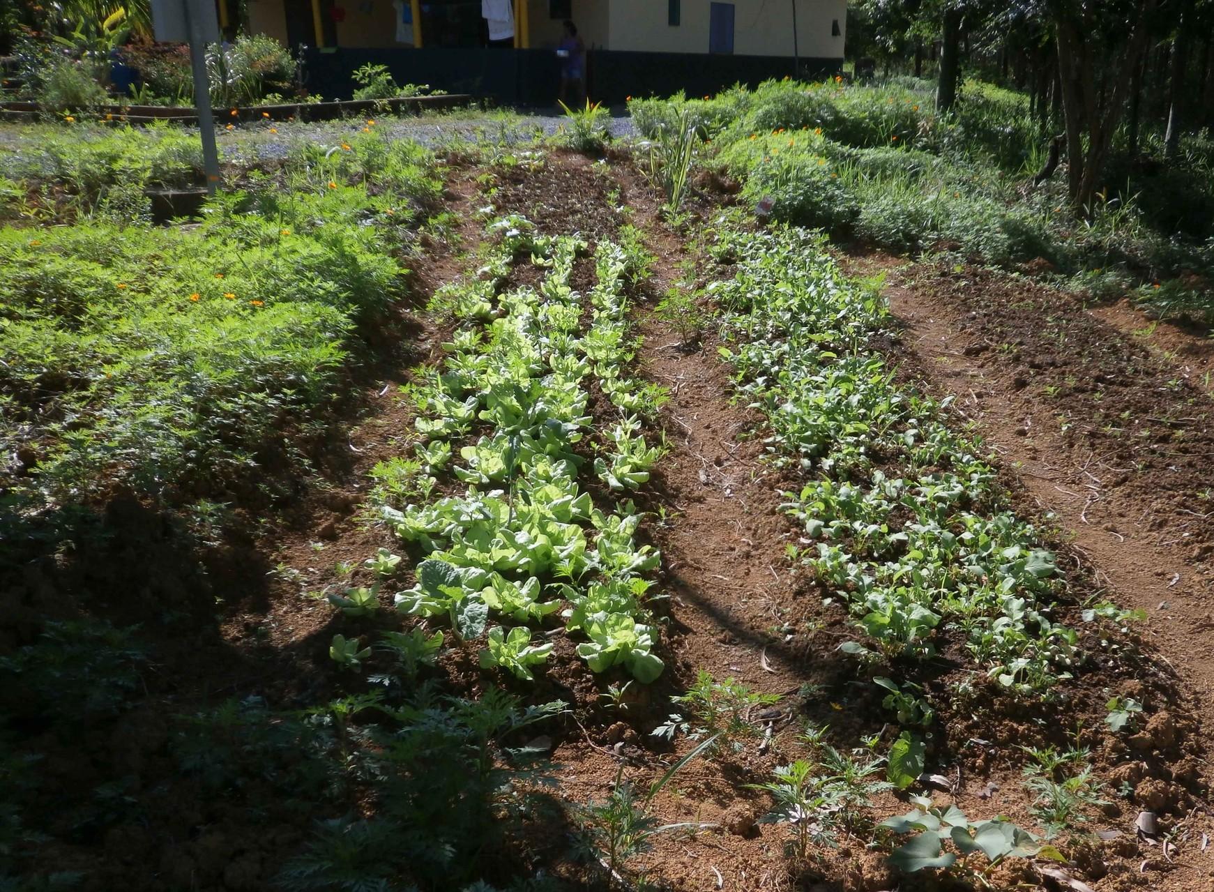 無農薬の野菜畑でも野菜がすくすくと育っています。