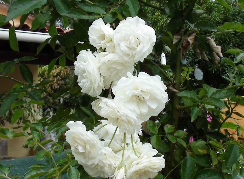 香りの良い白いバラが咲きました。