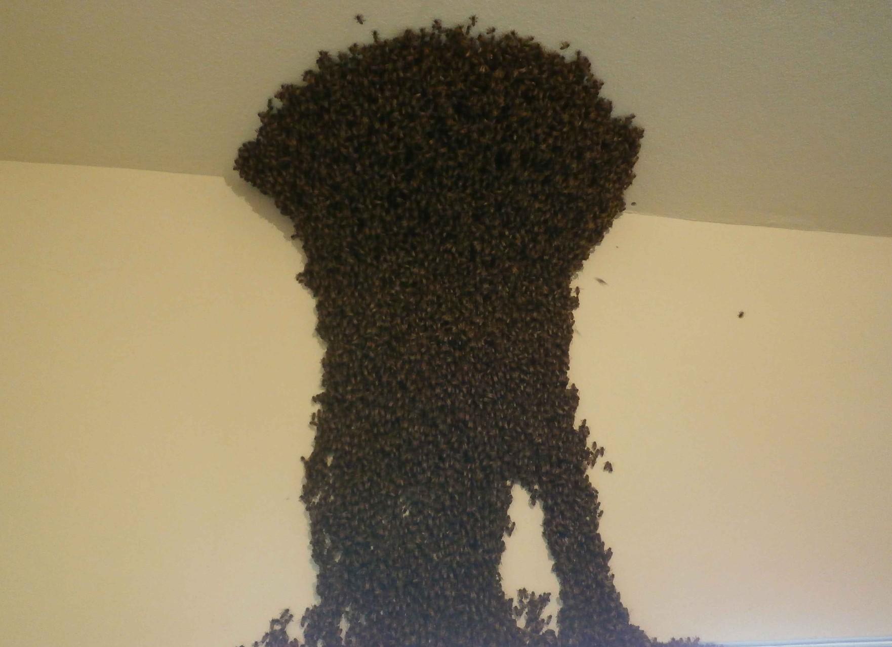 養蜂園で巣別れしてきたミツバチを発見。巣箱に入れて捕獲。