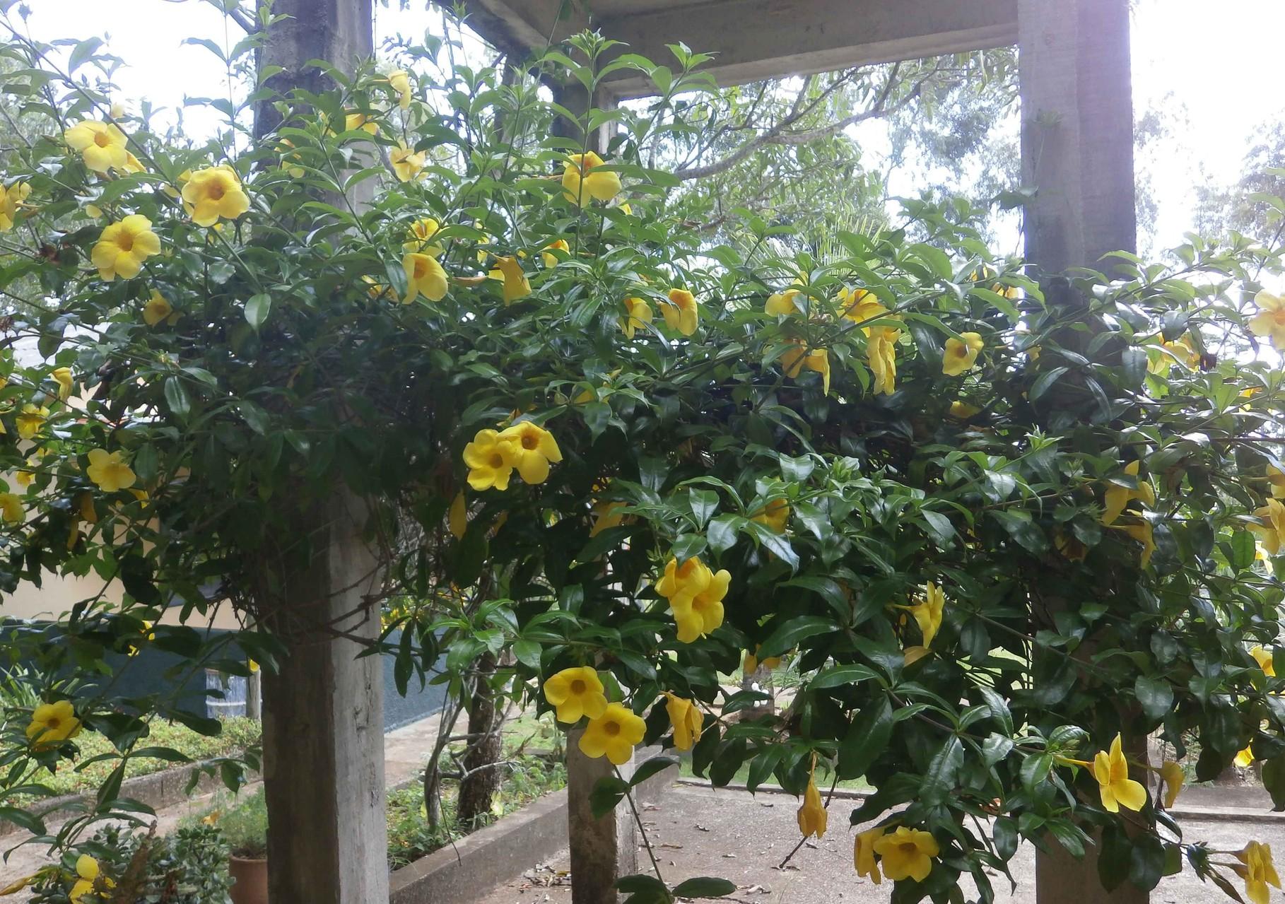 養蜂園の水場に毎年咲く黄色い花