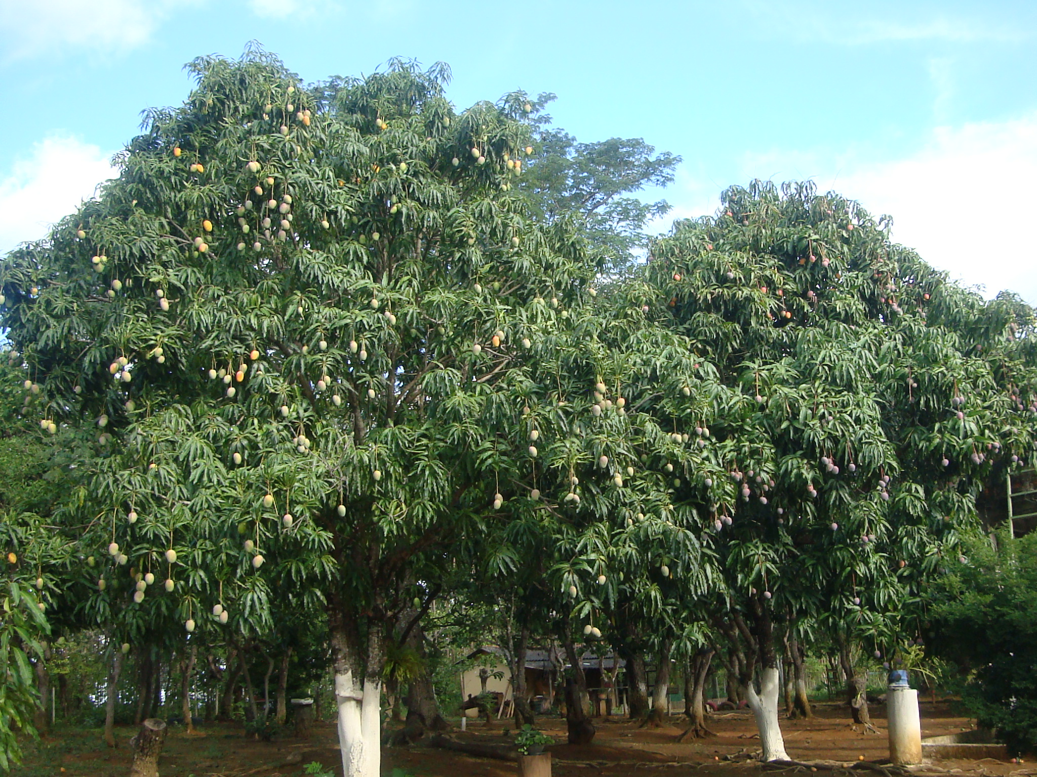 養蜂園の入り口から作業小屋に続く道は、すっかりマンゴの並木道になりました。
