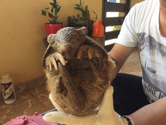 こちらは以前も養蜂園日記でご紹介した、不思議な生き物のアルマジロ。