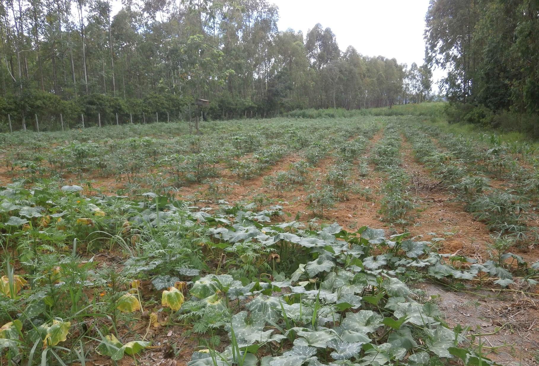 ユーカリ畑の間につくった野菜畑でも元気に野菜が育っています