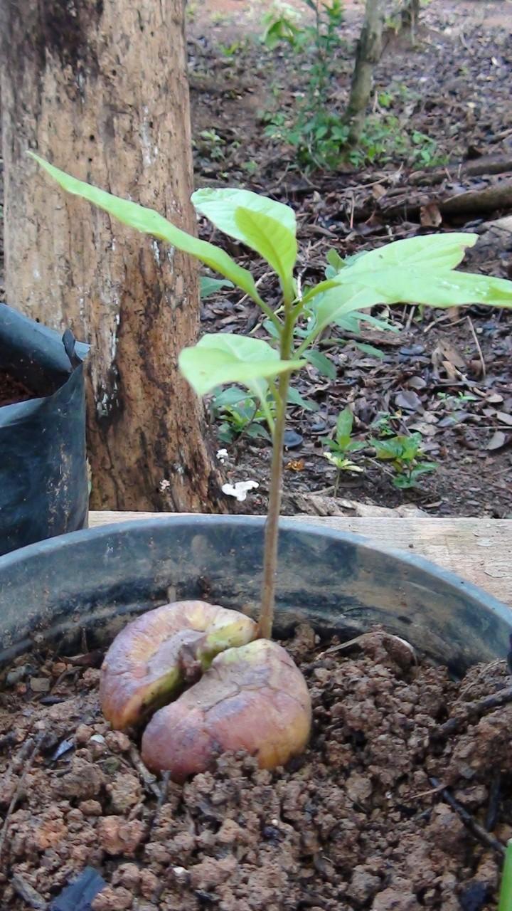 アボカドの苗もすくすく育っています。