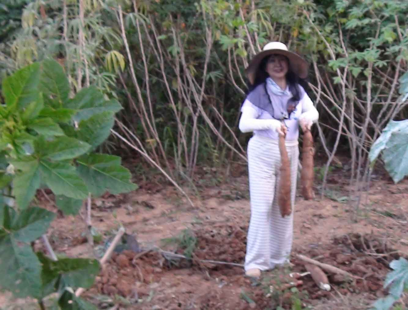 ブラジル人の主食ともいえるマンジョッカ(キャッサバ芋)の収穫