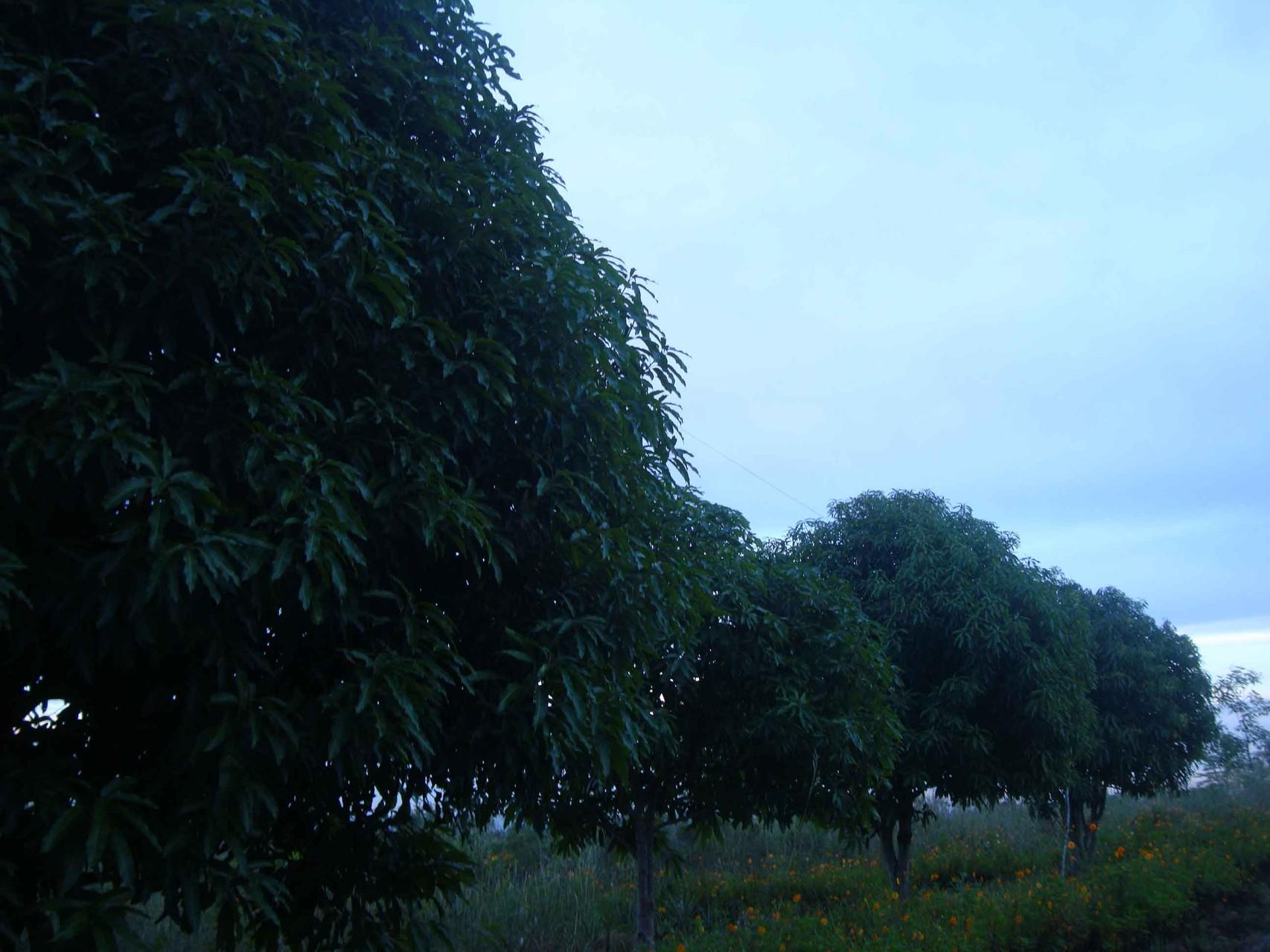 マンゴの並木道