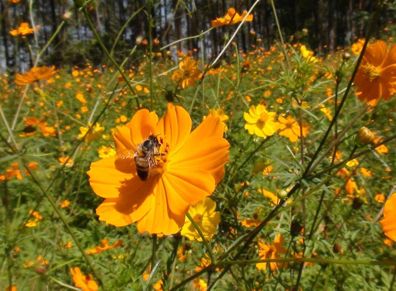 今年もピッコン(キバナコスモス)から花粉の恵みを受けて。。