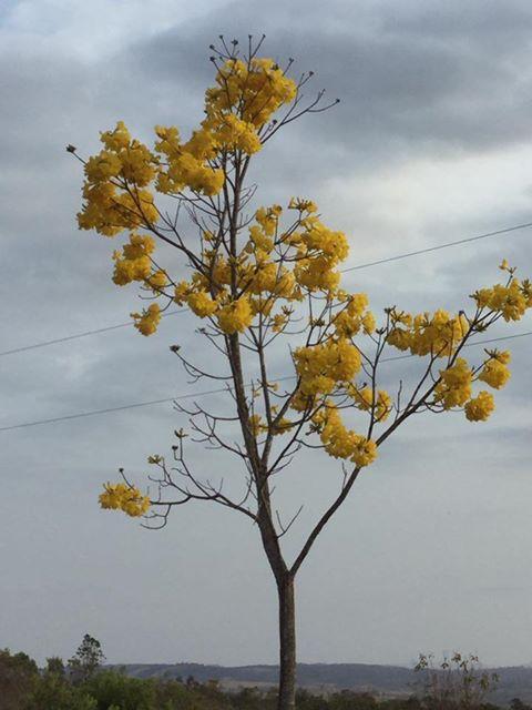ブラジル特有の木、イッペイの黄色い花。