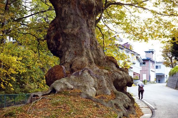 赤石のケヤキ(南部町)