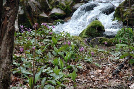 春はカタクリの絨毯を見ながらの釣りだ