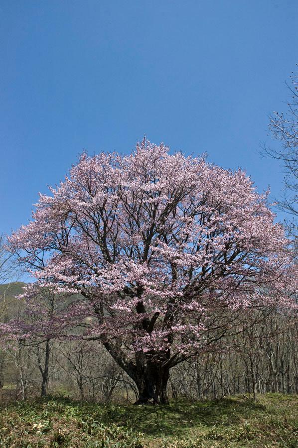 日本一のオオヤマザクラ(七時雨山)2012年5月13日 撮影 幹周6.25m こんな天気と満開にはもう一生会えないだろう。