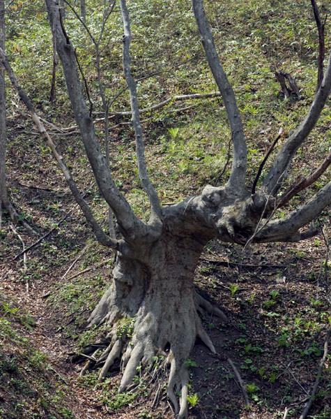 「創造の森」のケヤキ(七戸町)