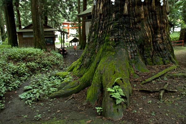 七崎神社神の杉(八戸市)