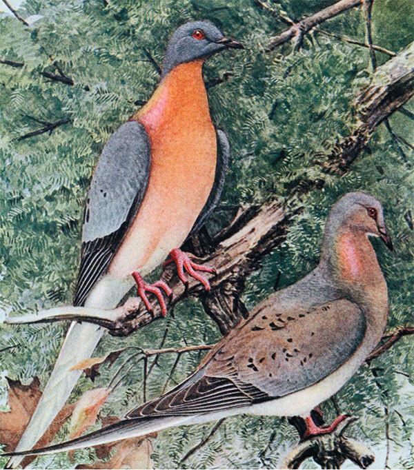 Пара странствующих голубей. Рисунок из обсуждаемой статьи Richard Stone. Fluttering From the Ashes?