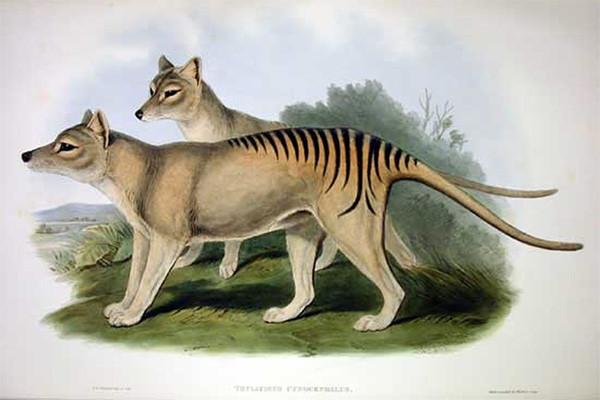 Тилацин (сумчатый волк), обитавший ранее на острове Тасмания. Вид был полностью истреблен человеком к 1930-м годам. Литография Джона Гулда (John Gould; 1804–1881) из альбома: «Mammals of Australia». V. I. Plate 54
