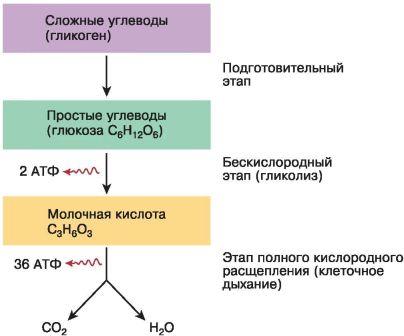 тест по теме энергетический обмен гликолиз дыхание ответы