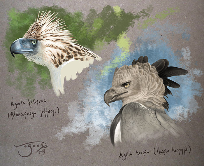 Estudios de cabeza de Águila filipina y Águila harpía