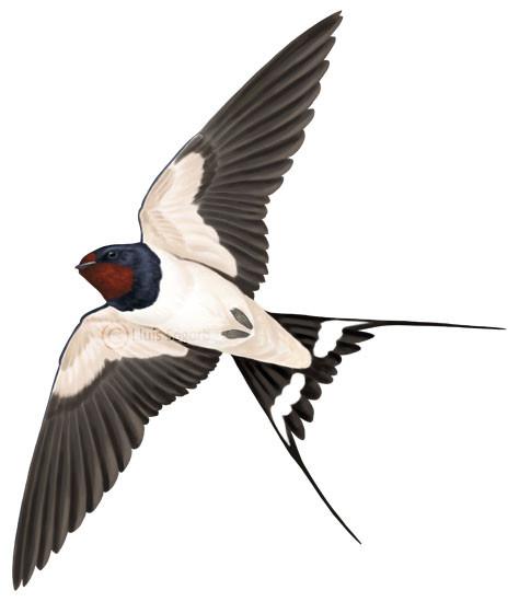 Golondrina común en vuelo