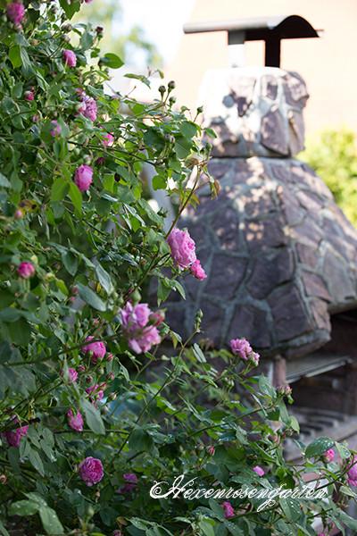 Rosen Blüte Hexenrosengarten Garten Rosenblog Frühling LuiseOdier rosa Duft