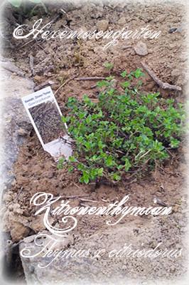 Hexenrosengarten Kräuter Zitronenthymian Thymus x citriodorus