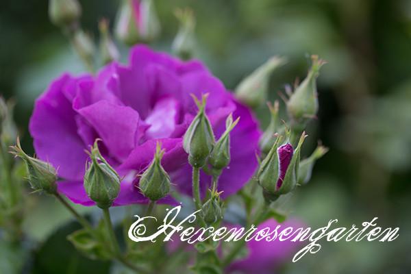 Rosen Blüte Hexenrosengarten Garten Rosenblog Frühling lila Rhapsody in Blue