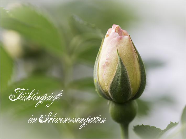 Rosen Hexenrosengarten Rosenblog  Strauchrose Kordes Frühlingsrose Frühlingsduft