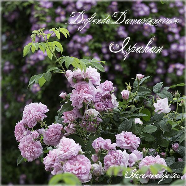 Rosen Hexenrosengarten Rosenblog Duftrosen Damaszenerrose Ispahan Duftrosen Ramblerrose Veilchenblau