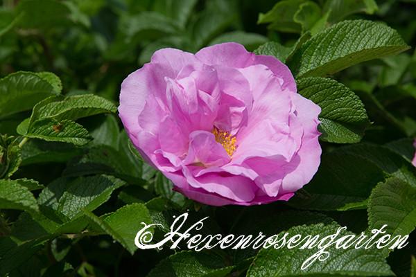 Rosen Blüte Hexenrosengarten Garten Rosenblog Frühling Pink Roadrunner Rugosa rosa
