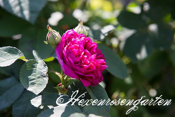 Rosen Blüte Hexenrosengarten Garten Rosenblog Frühling Rose de Resht pink Duft