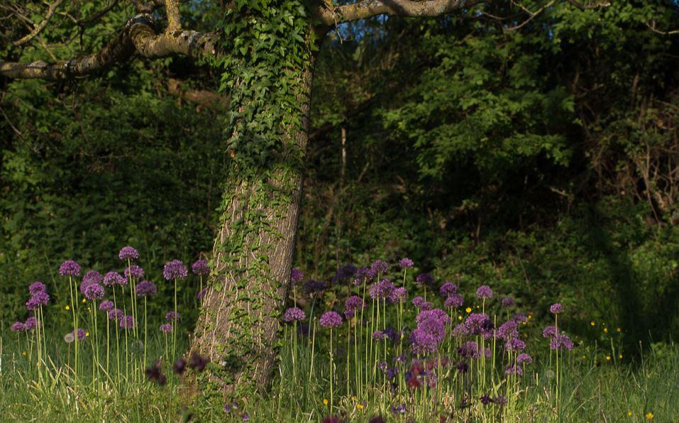 Obstbaum und Allium