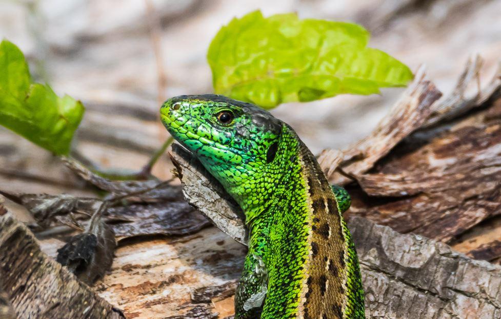 Grüne Eidechse