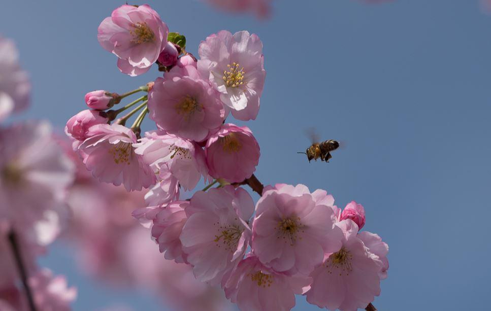 Kirschblüte mit Bestäuber