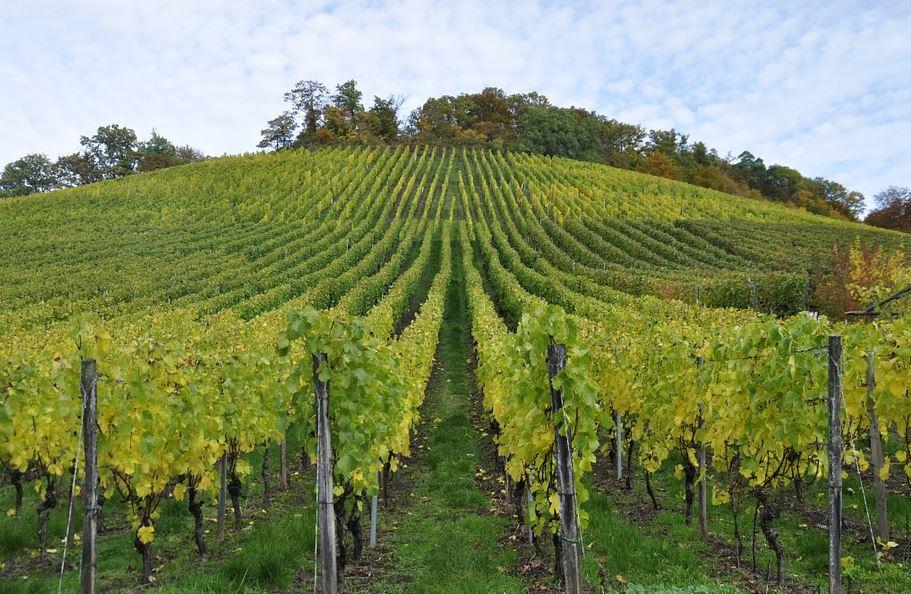 Weingärten bei Sternenfels