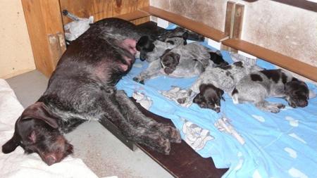 Säugen erschöpft Mutter und Welpen