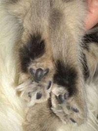 Amber (non agouti), erwachsene Katze, kleiner, schwarzer Sohlenfleck bei sonst hellem Sohlenstreifen.
